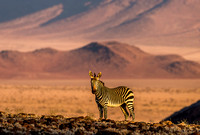 Mountain Zebra at Sunset