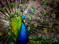 Proud Pavo Christatus