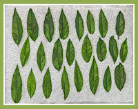 Bay Leaves Drying