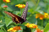 Eastern Black Swallowtail at Lunch