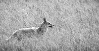 Yellowstone Coyote in Grass