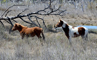 Chincoteague Horses