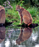 Lynx and Reflection