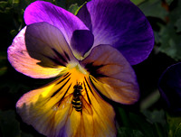 Pansy With Visitor